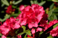 Rhododendron (Alpenrose) (Quelle: imago images/McPhoto)