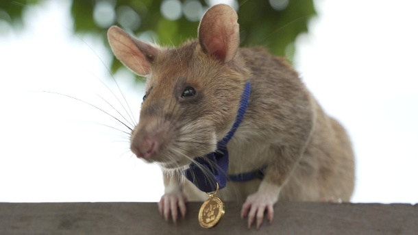 Magawa, a mine-sniffing rat, is pictured in Siem Reap (Quelle: Reuters)