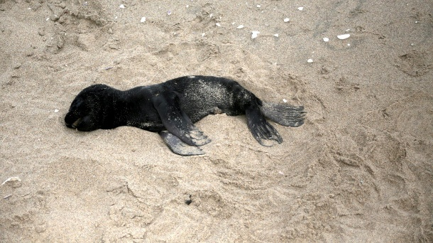 A dead seal pup foetus lies on a beach near Pelican Point (Quelle: Reuters)